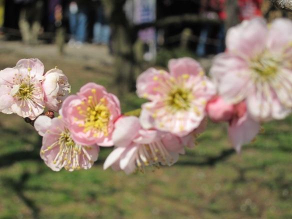 Plum blossoms at Kairakuen