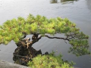 Full grown tree looking like a bonsai
