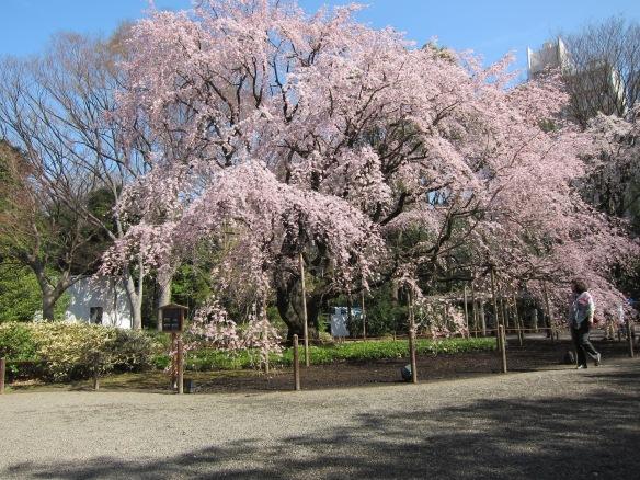 The famous Sakura